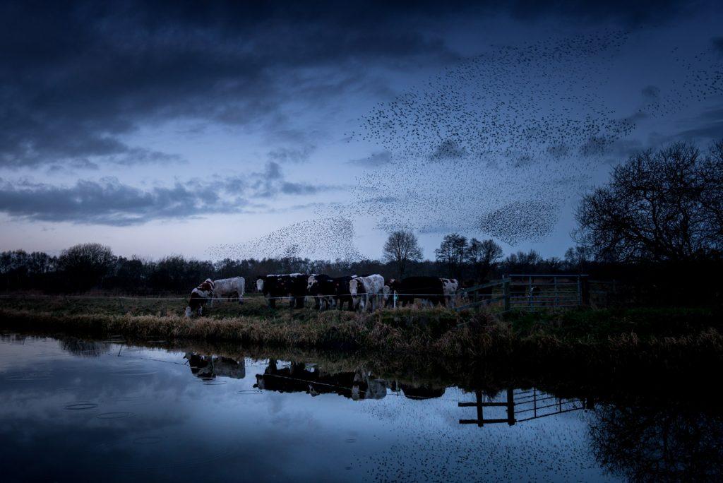 Starling Murmuration - Westhay Heath, Somerset, UK. id 824_7422