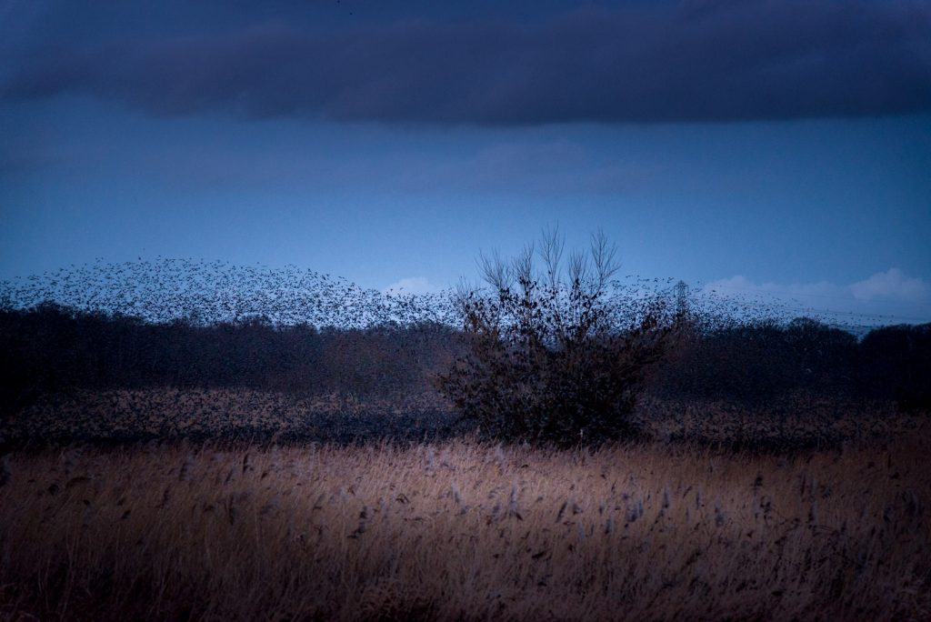 Starling Roost - Westhay Heath, Somerset, UK. ID 824_7487