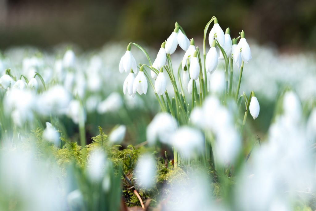 Snowdrops - Mells, Somerset, UK. ID 824_7520