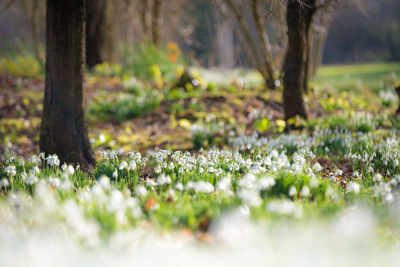 Snowdrops - Mells, Somerset, UK. ID 824_7685