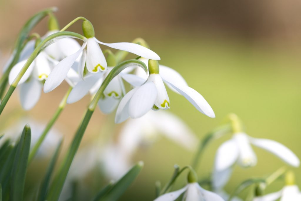 Snowdrops - Holton, Somerset, UK. ID 809_0802