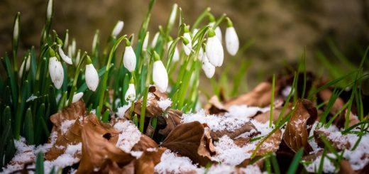 Snowdrops - Priddy, Somerset, UK. ID 809_9129