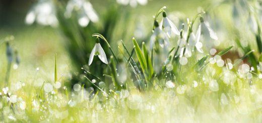 Churchyard Snowdrops - Blackford, South Somerset, UK. ID 824_8774