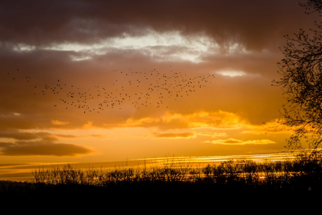 Starlings over 70 Acres - Shapwick Heath, Somerset, UK. ID 824_8954