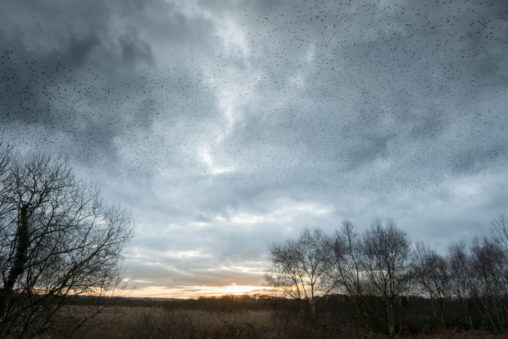 Starlings over 70 Acres - Shapwick Heath, Somerset, UK. ID 824_8983