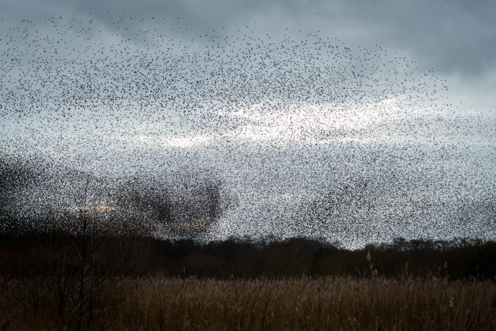 Starlings over Meare Heath - Shapwick Heath, Somerset, UK. ID 824_9115