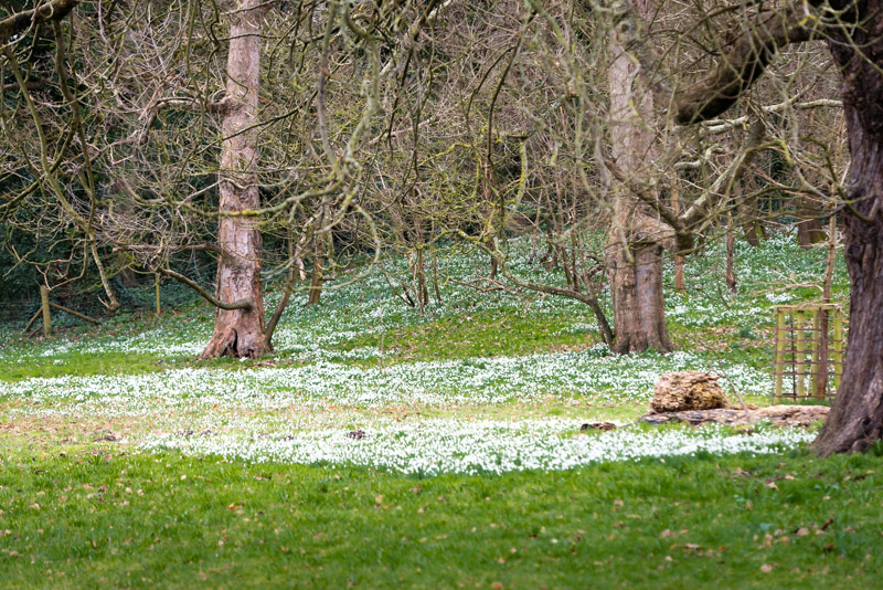 Snowdrops - Donkey Field, Uphil, North Somerset, UK. ID 824_9175