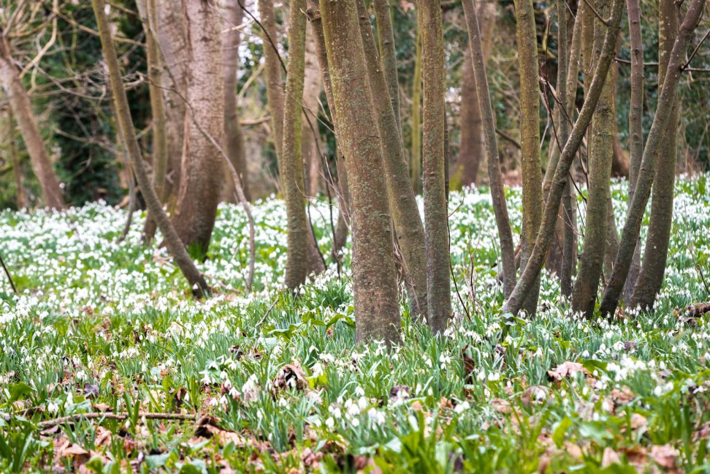Snowdrops - Donkey Field, Uphil, North Somerset, UK. ID 824_9187