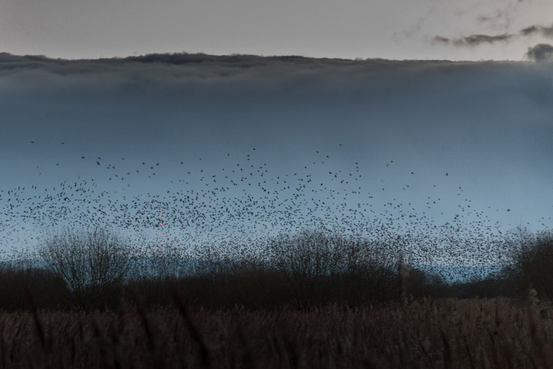 Starlings at Dawn - Meare Heath, Shapwick Heath, Somerset, UK. ID 824_9291