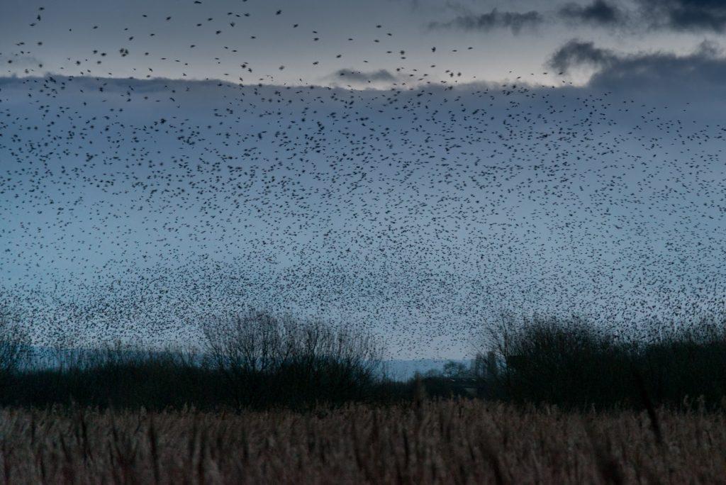 Starlings at Dawn - Meare Heath, Shapwick Heath, Somerset, UK. ID 824_9315