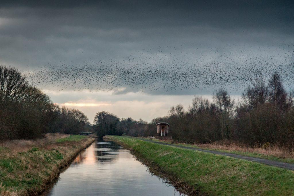 Starlings at Dawn - Meare Heath, Shapwick Heath, Somerset, UK. ID 824_9321