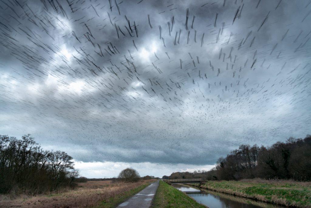 Starlings at Dawn - Meare Heath, Shapwick Heath, Somerset, UK. ID 824_9352