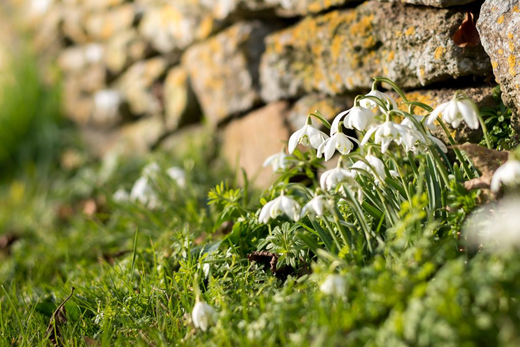 Snowdrops - North Cheriton, Somerset, UK. ID 824_9623