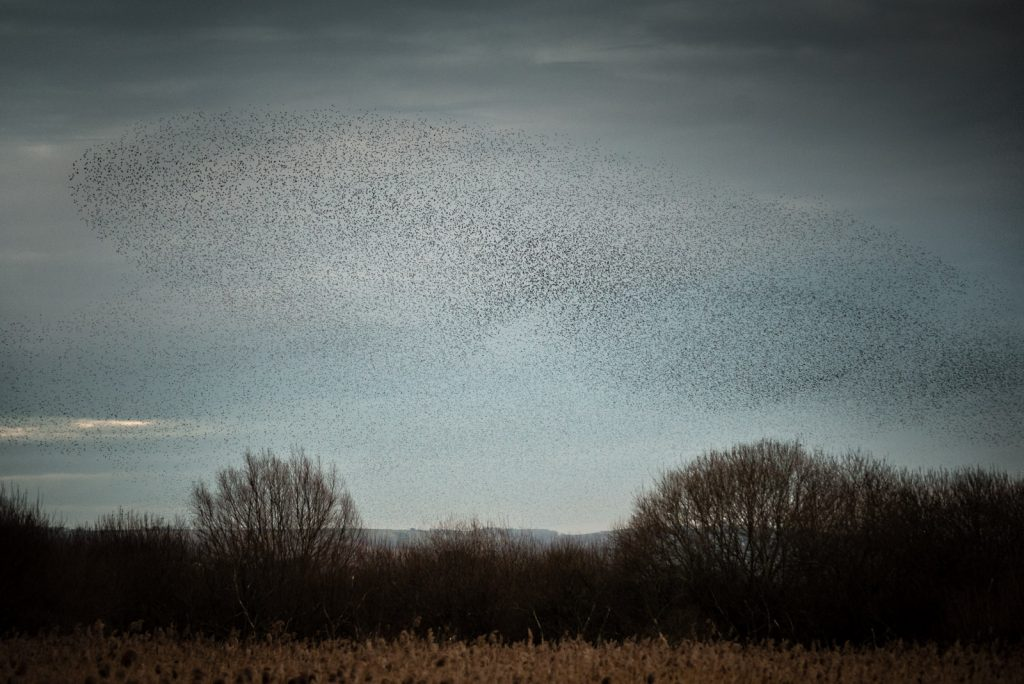 Starlings - Shapwick Heath, Somerset, UK. ID 824_9814