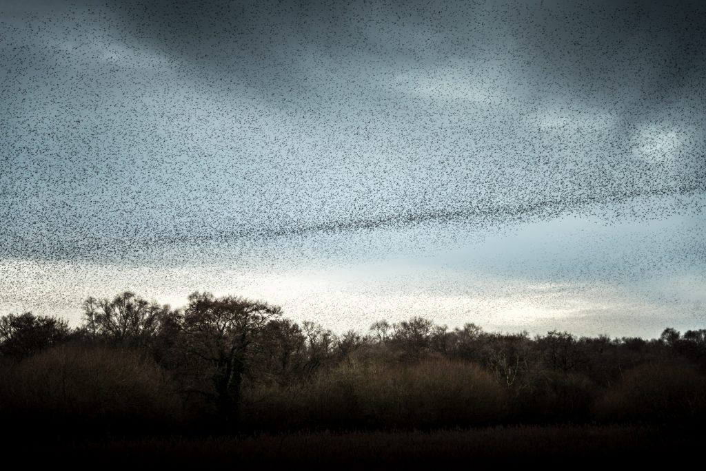 Starlings - Shapwick Heath, Somerset, UK. ID 824_9877
