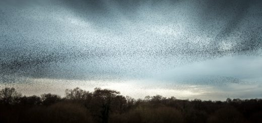 Starlings - Shapwick Heath, Somerset, UK. ID 824_9880