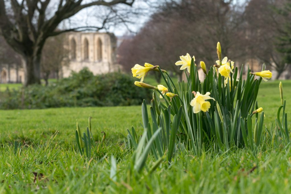 Daffodils - Glastonbury Abbey, Somerset, UK. ID 825_0180