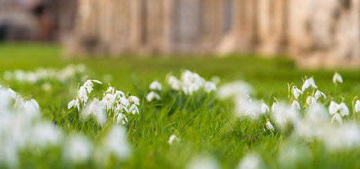Snowdrops - Glastonbury Abbey, Somerset, UK. ID 825_0381 - Glastonbury Abbey, Somerest, UK. ID 825_0381
