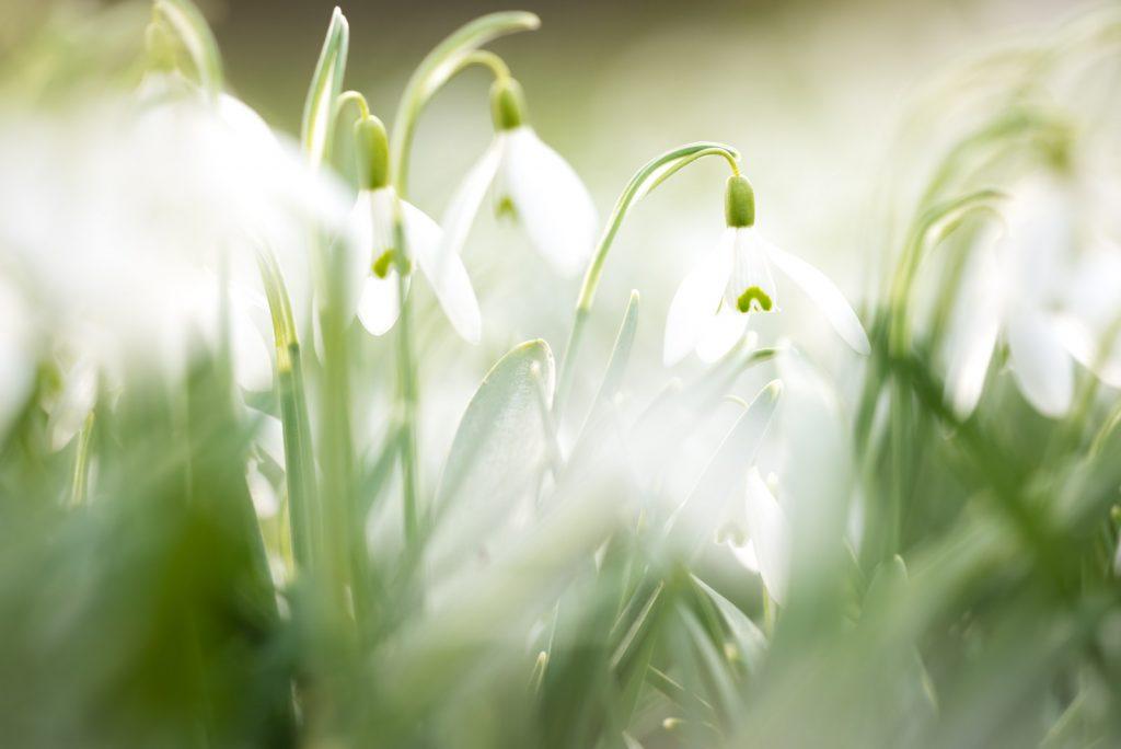 Snowdrops - Yarlington, Somerset, UK. ID 825_1510