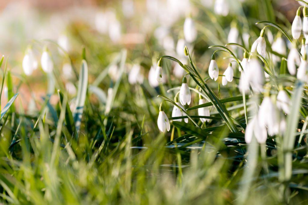 Snowdrops - Priddy, Somerset, UK. ID 825_2510