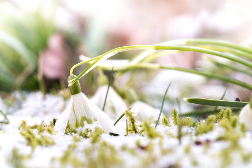 Snowy Dropdrops Drop - Wookey, Somerset, UK. ID 825_3190