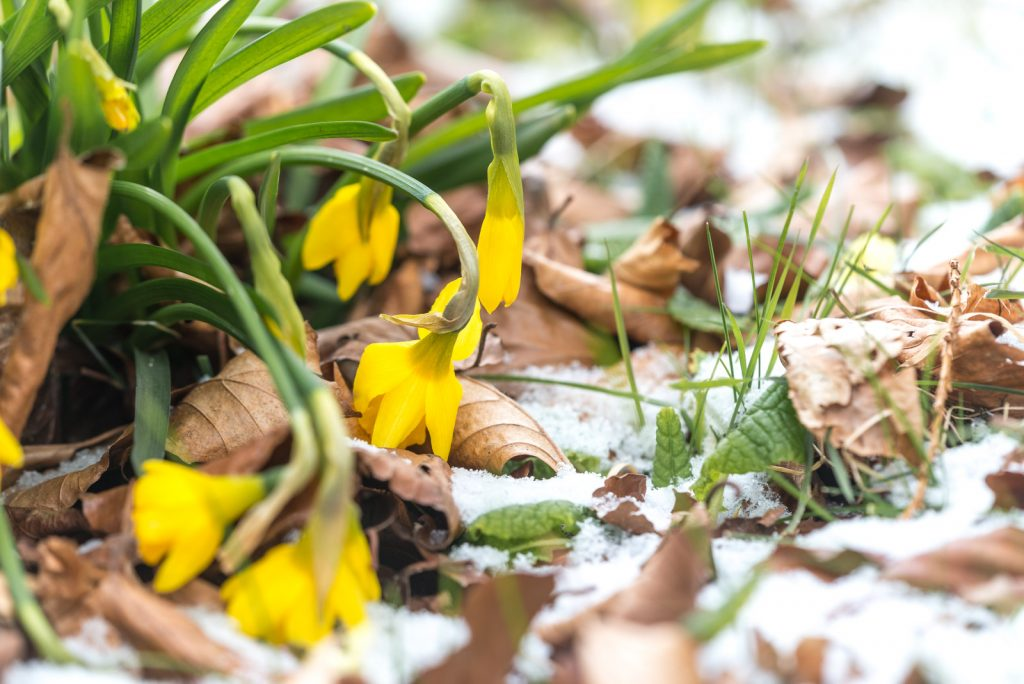 Daffodils in Snow - Wookey, Somerset, UK. ID 825_3233