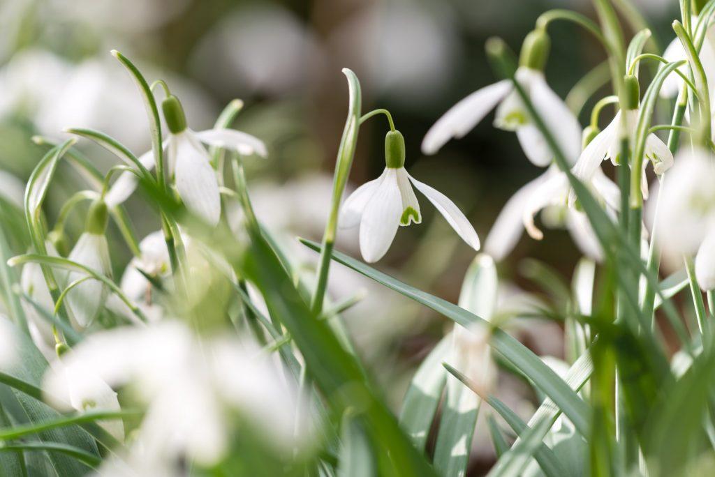 Snowdrops - Priddy, Somerset, UK. ID 825_4330