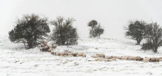 Sheep - Deerleap, Somerset, UK. ID 825_4840