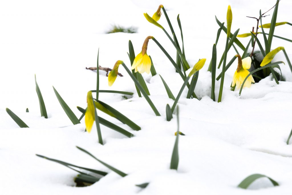 Daffodils in the Snow - Wookey Hole, Somerset, UK. ID 825_6369