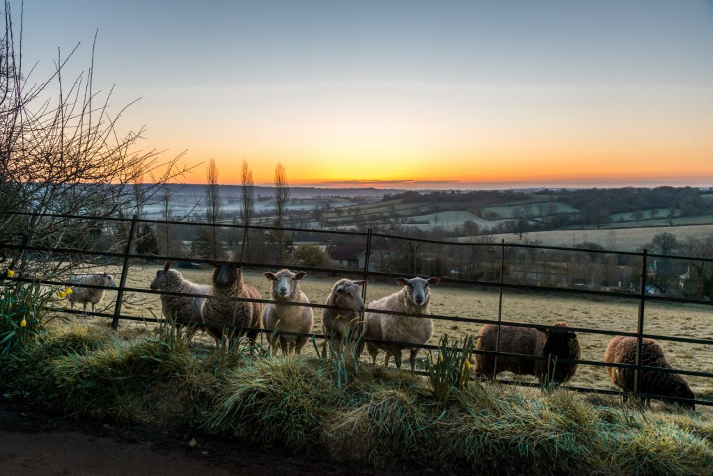 Sheep - Bratton Seymour, Somerset, UK. ID 825_7656