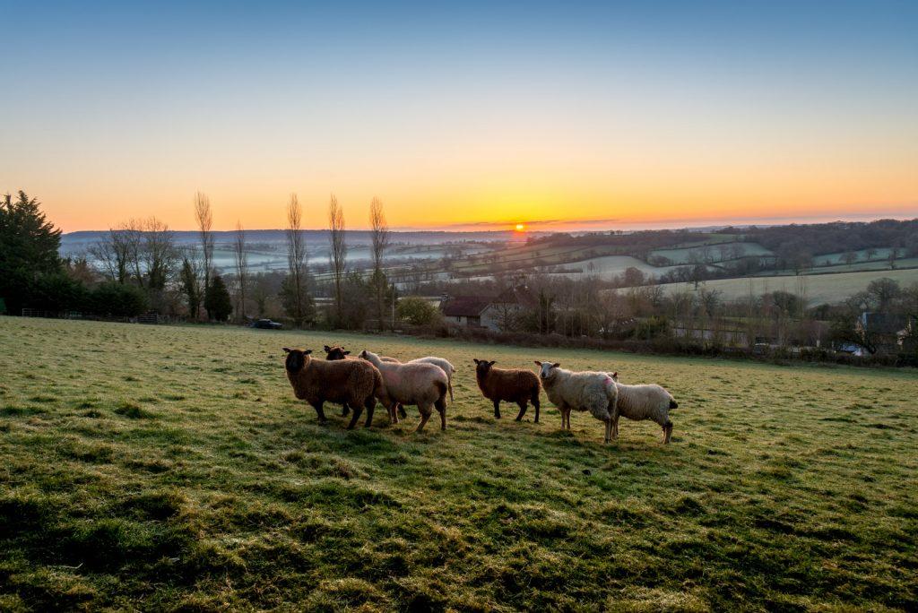 Sheep - Bratton Seymour, Somerset, UK. ID 825_7664