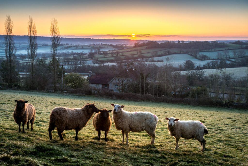 Sheep - Bratton Seymour, Somerset, UK. ID 825_7883