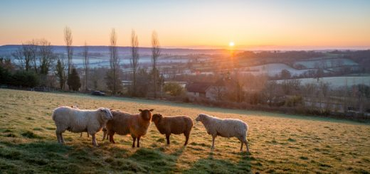 Sheep - Bratton Seymour, Somerset, UK. ID 825_7944