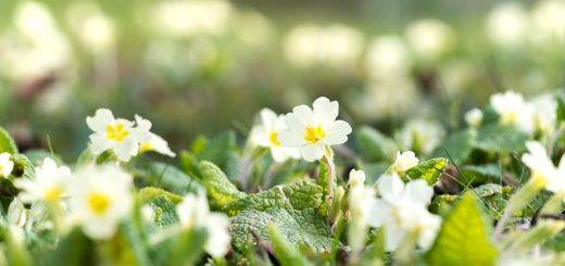 Primroses - North Cheriton, Somerset, UK. ID 825_8172