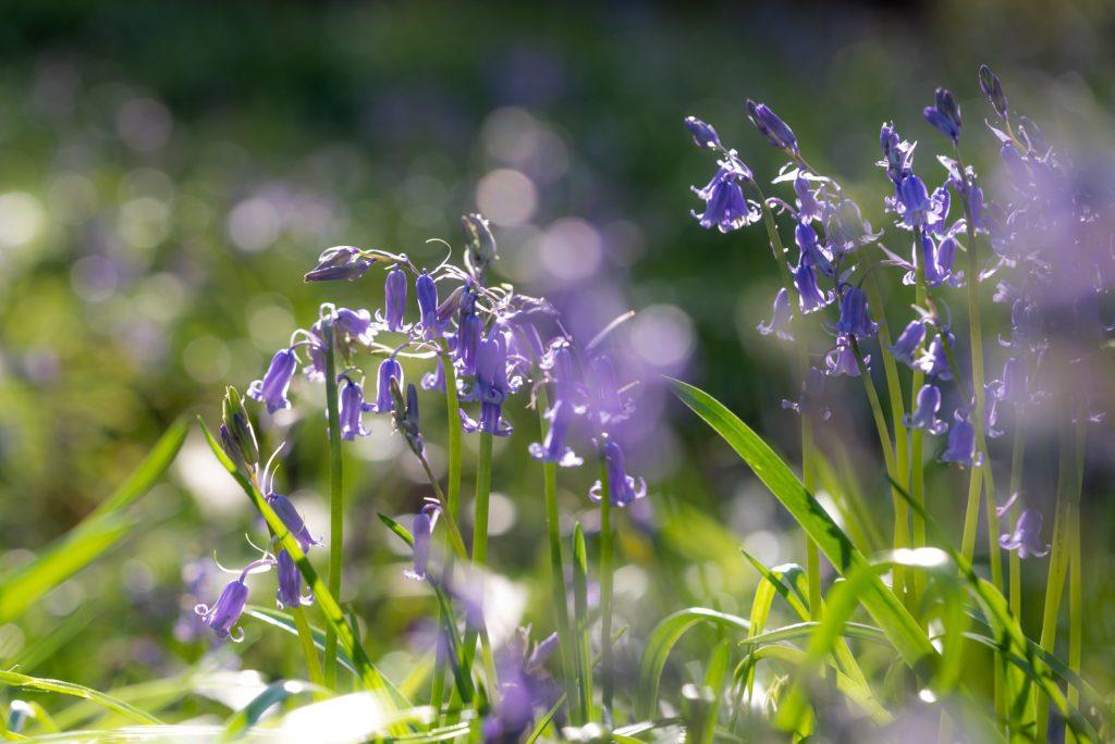 Bluebells - Park Wood, Nr Wells, Somerset, UK. ID 825_8560