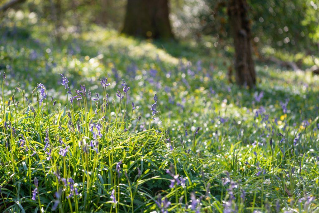 Park Wood - Nr Wells, Somerset, UK. ID 825_8572