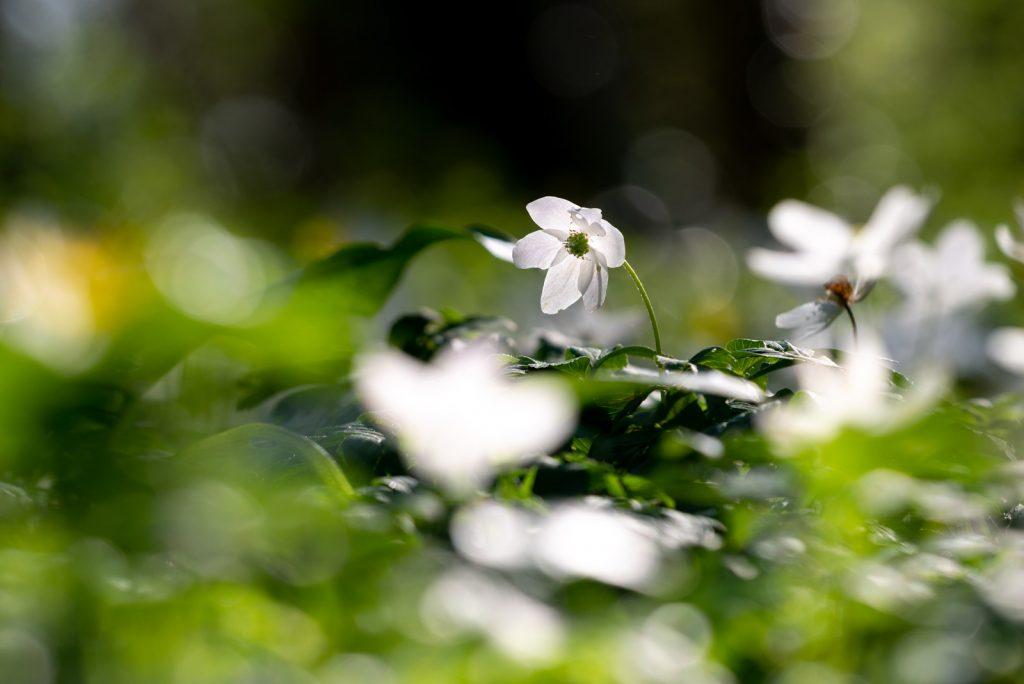 Wood Anemones - Park Wood, Nr Wells, Somerset, UK. ID 825_8588