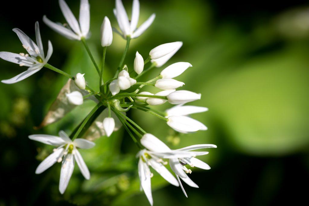 Wild Garlic - Kings Wood, Somerset, UK. id 825_8596