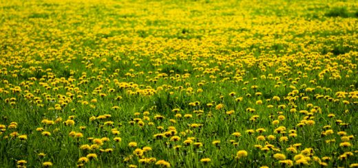Dandelion Field - Yarley, Somerset, UK. ID 825_8962