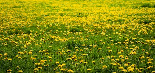 Dandelion Field - Yarley, Somerset, UK. ID 825_8962