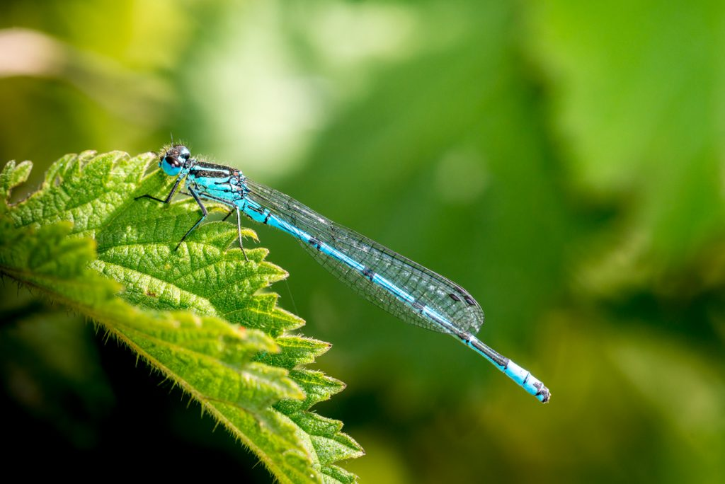 Azure Damselfly (Coenagrion puella) - Perry Mead - Somerset, UK. ID 804_5903