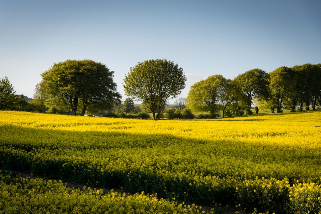 Yellow Fields - Whitnell Corner, Nr Wells, Somerset, UK. ID 825_0023