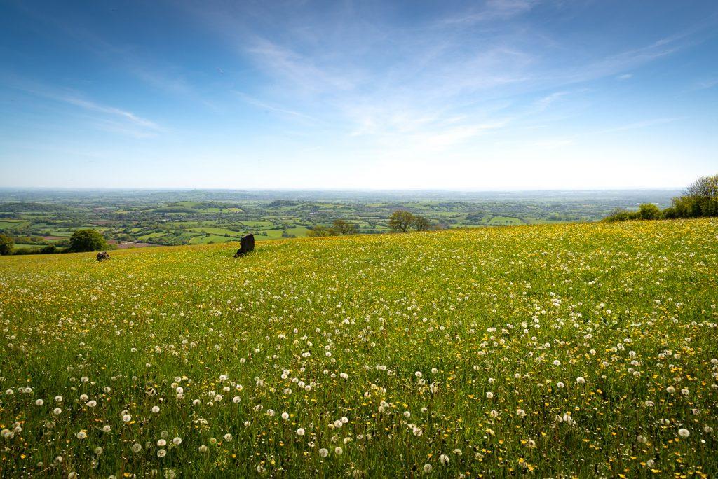 Dandelion Fields - Deerleap., Somerset, UK. ID 825_0285