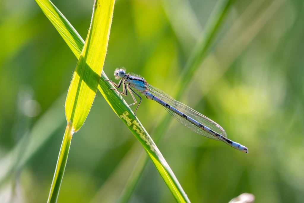 Common Blue Damselfly (Enallagma cyathigerum) - Perry Mead, Somerset, UK. id 825_1022