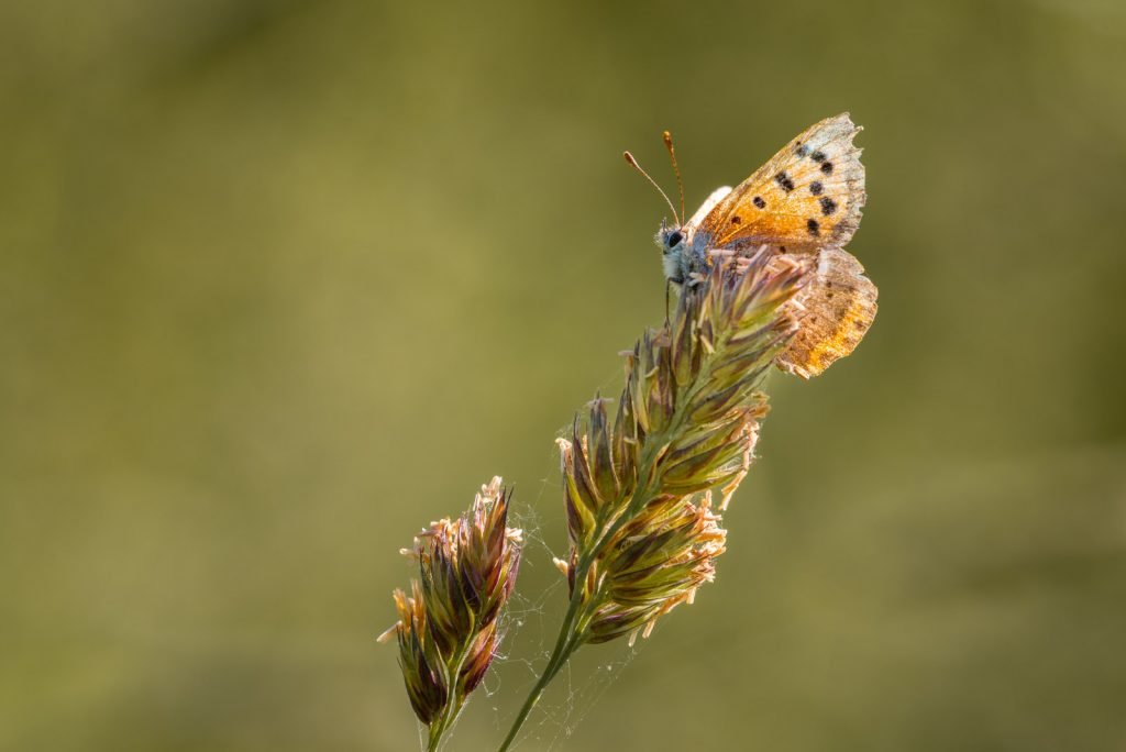 Small Copper (Lycaena phlaeas) - Perry Mead, Somerset, UK. ID 825_1106