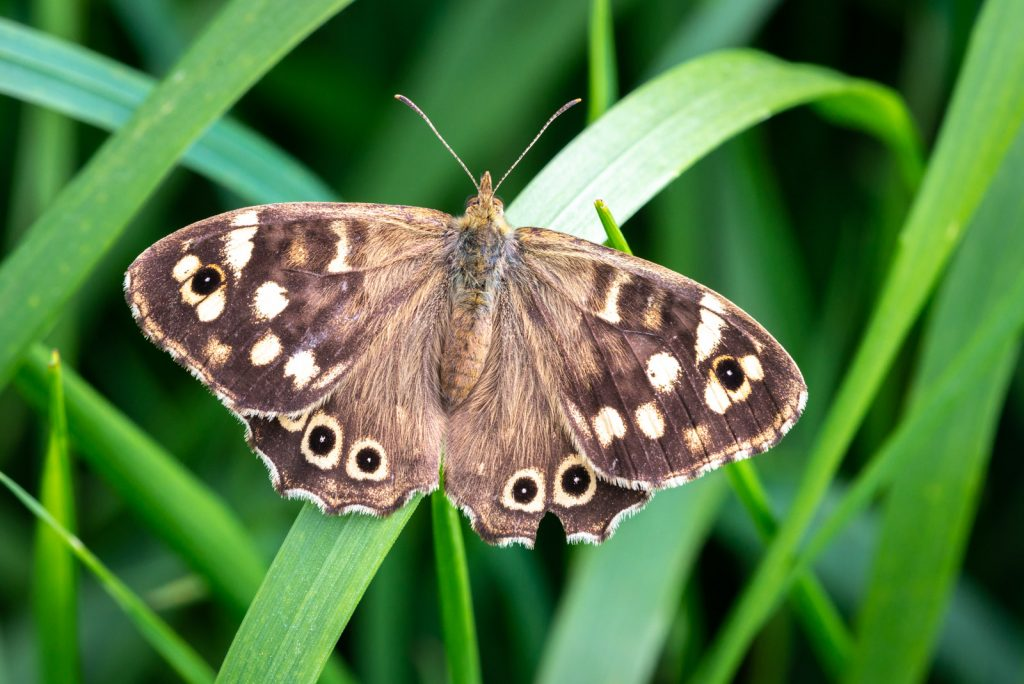 Speckled Wood (Pararge aegeria) - Lynchcombe, Somerset, UK. ID 825_1121