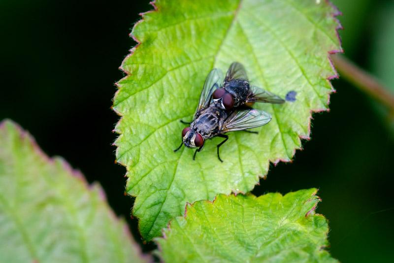 Horsefly - Lynchcombe, Somerset, UK/ ID 825_1137