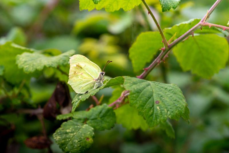 Brimstone (Gonepteryx rhamni) - Lynchcombe, Somerset, UK. ID 825_1211