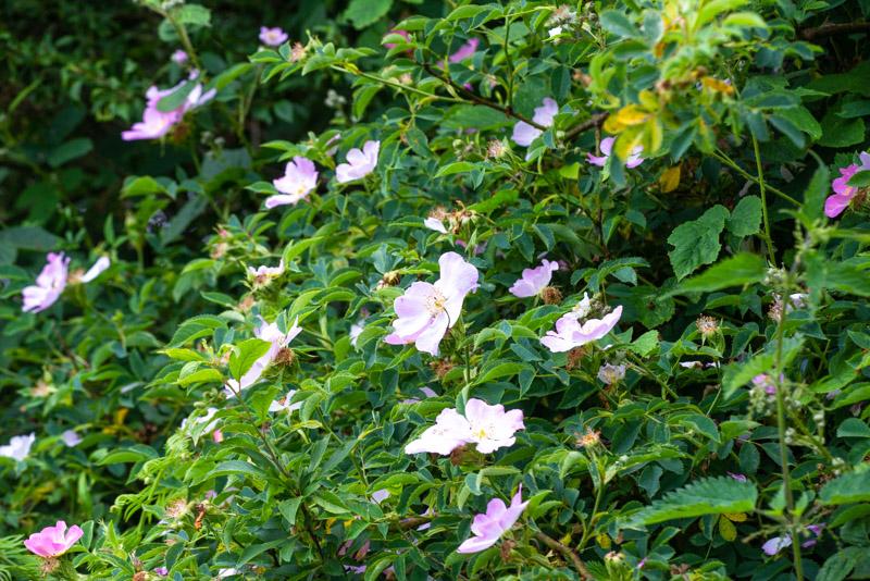 Dog Rose (Rosa canina) - Lynchcombe, Somerset, UK. ID 825_1212