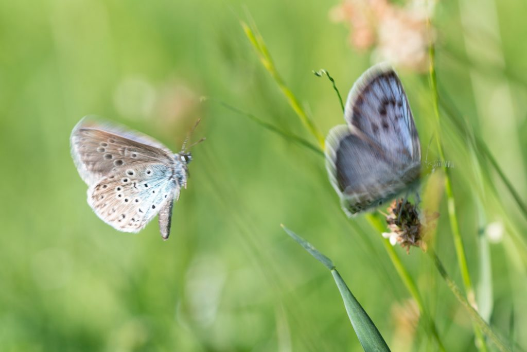 Large Blue (Maculinea arion) - Collard Hill, Somerset, UK. ID 825_1608